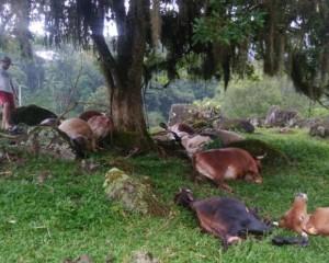 vacas-mortas